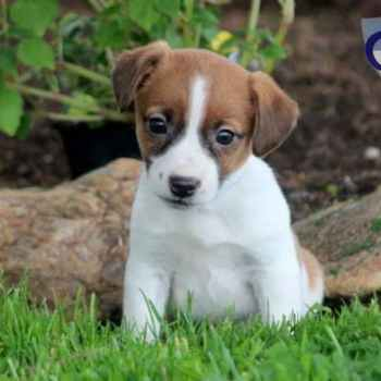 Jack Russell Terriers For Sale In Pa
