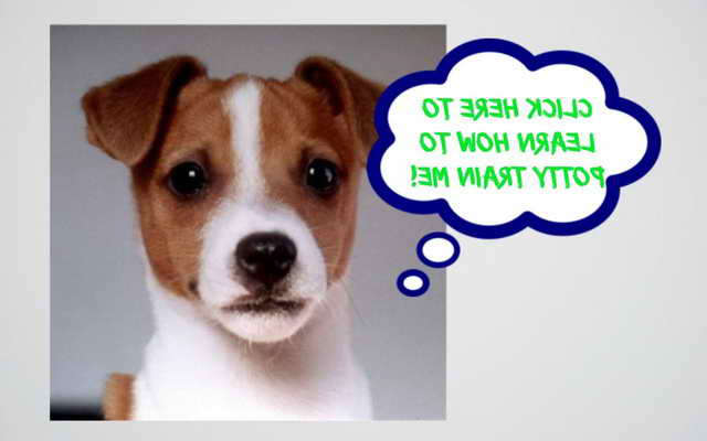 Jack Russell Terriers Training