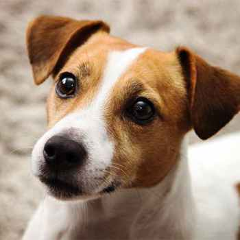 Jack Russell Terriors