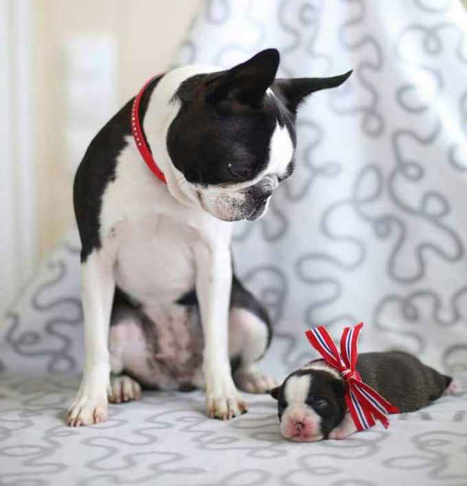 Jacob King Boston Terrier Pups
