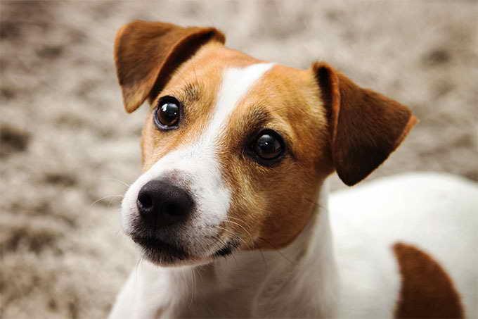 Jake Russell Terrier