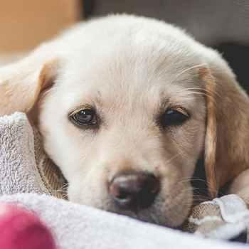 Lab Golden Retriever Mix Puppy