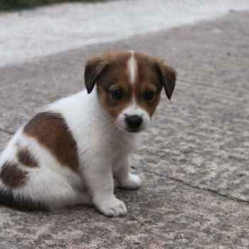 Lab Jack Russell Mix For Sale