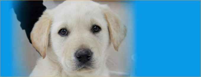 Labrador Adoption Bay Area