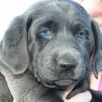 Labrador Adoption Colorado
