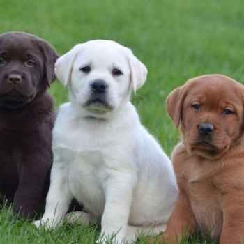 Labrador Adoption Near Me
