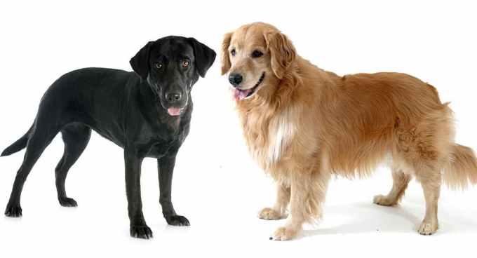 Labrador And Golden Retriever