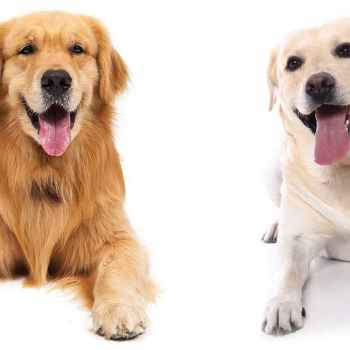 Labrador And Golden Retrievers