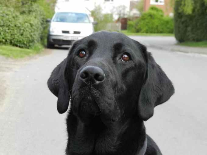 Labrador Az