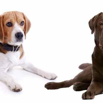 Labrador Beagle