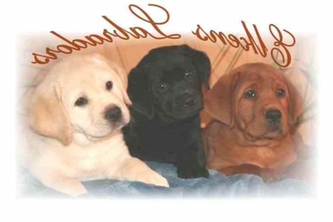 Labrador Breeders California
