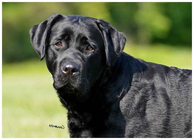 Labrador Breeders Nj