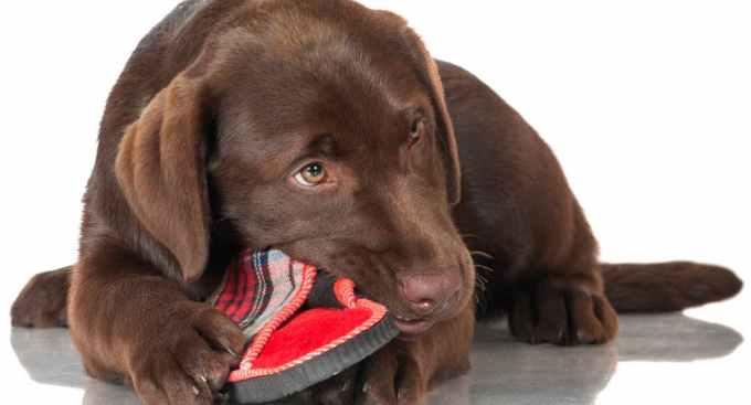 Labrador Chew Toys