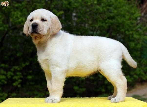 Labrador Dog Prices