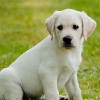 Labrador Dogs Puppies