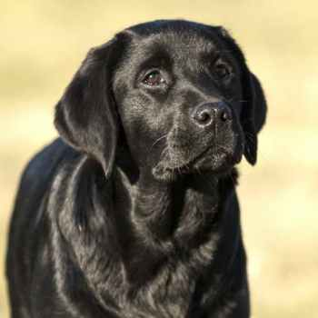 Labrador For Sale Florida