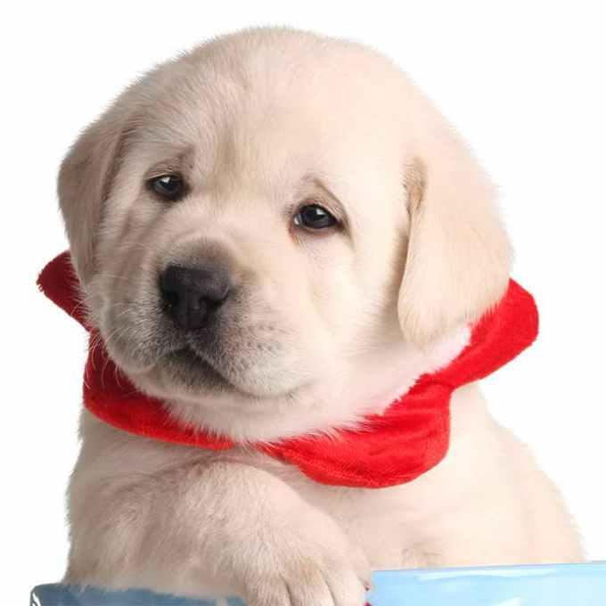 Labrador For Sale San Diego