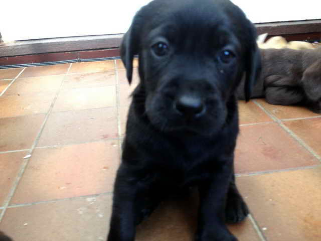 Labrador For Sell