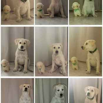 Labrador Growth Pictures