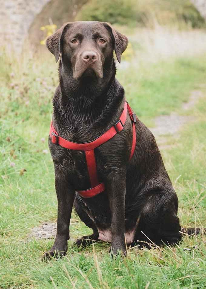 Labrador Harness