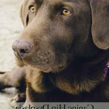 Labrador Hip Dysplasia Home Remedy