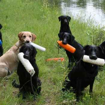 Labrador Hunting Training
