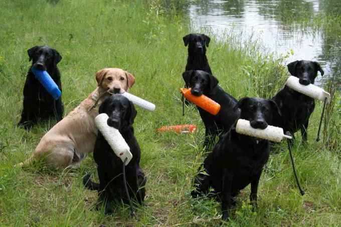 Labrador Hunting Training