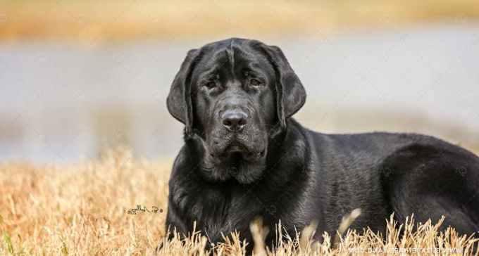 Labrador Kennels In Texas