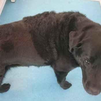 Labrador Losing Hair