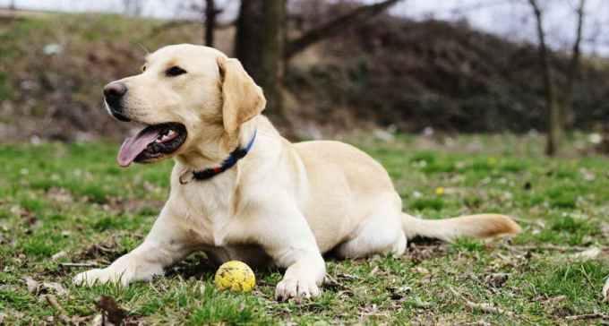 Labrador Mixed Dogs