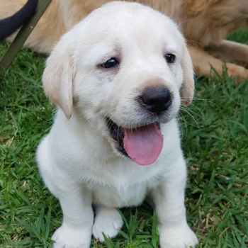 Labrador Pedigree