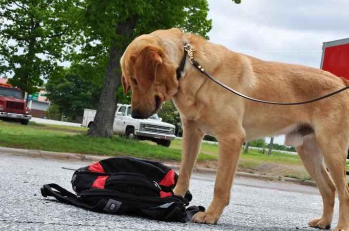 Labrador Police Dog