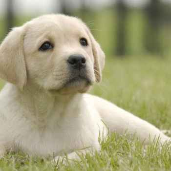 Labrador Potty Training