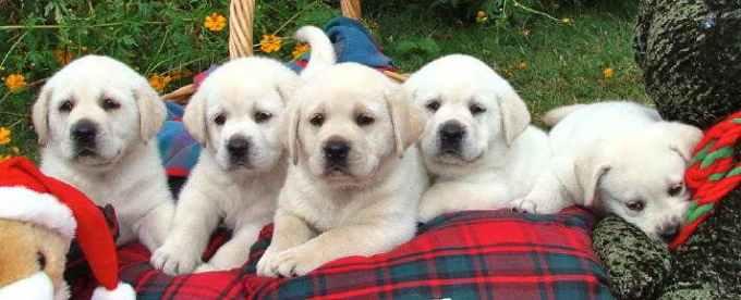 Labrador Puppies Austin Tx