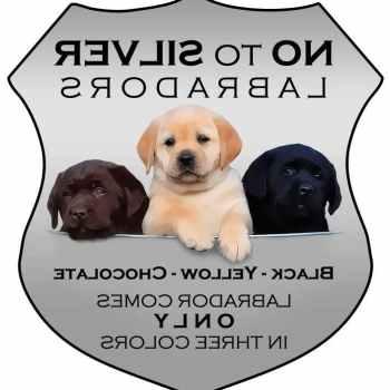 Labrador Puppies Chicago