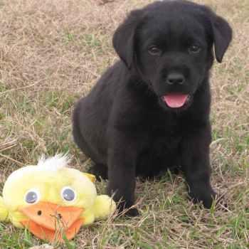 Labrador Puppies Florida