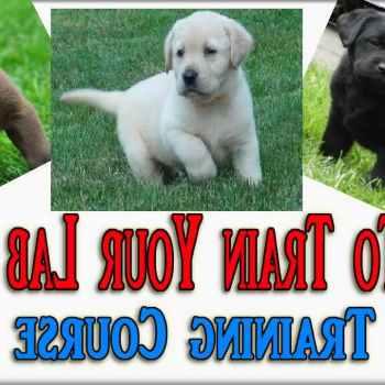 Labrador Puppies Training Tips