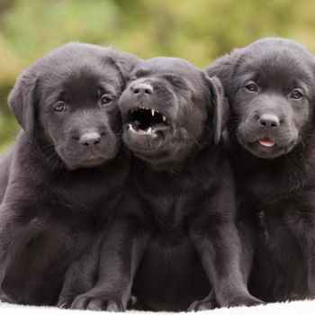 Labrador Puppy Facts