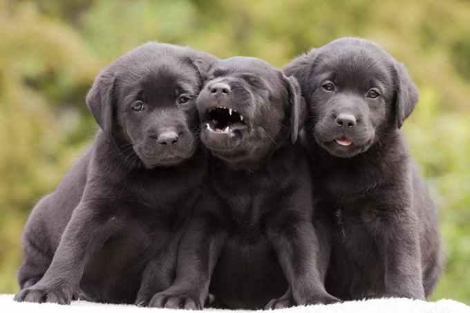 Labrador Puppy Facts