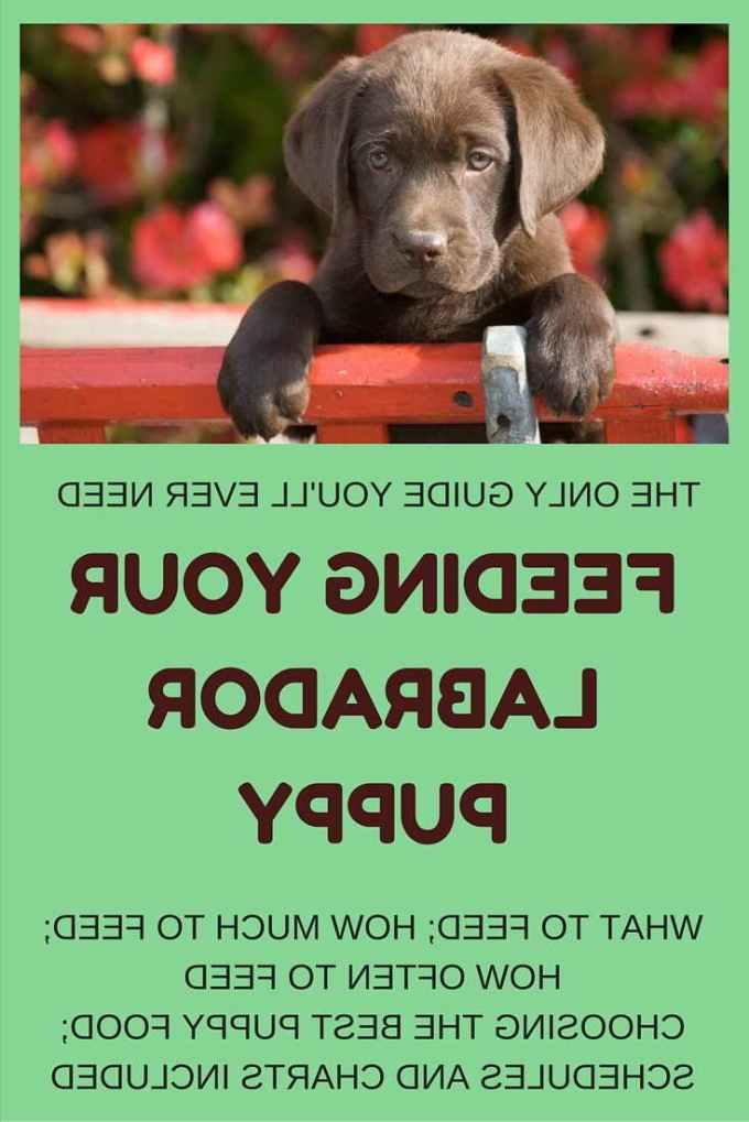 Labrador Puppy Food