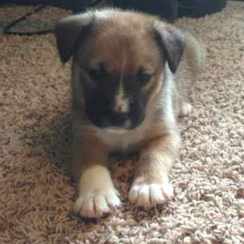 Labrador Retriever Australian Shepherd Mix For Sale