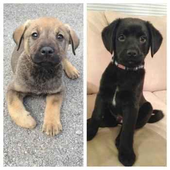 Labrador Shepherd Mix Puppies For Sale