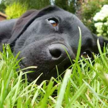 Labrador Skin Allergies