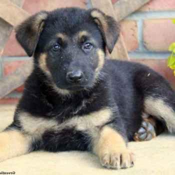 Lancaster Pa German Shepherd Puppies