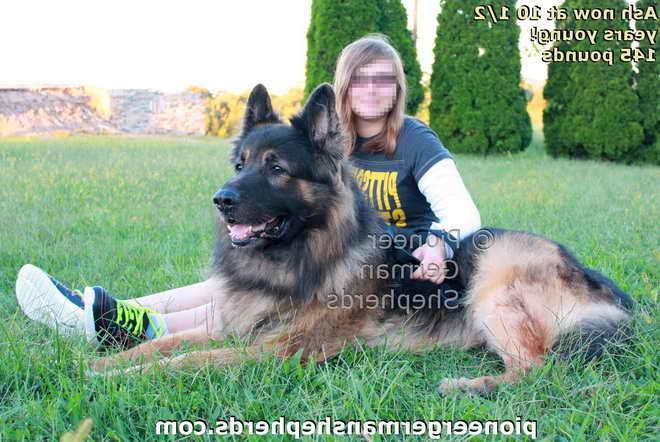 Large German Shepherd Puppies For Sale