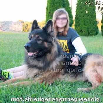 Large German Shepherd