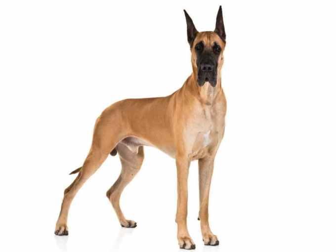 Lifespan Of A Great Dane Dog