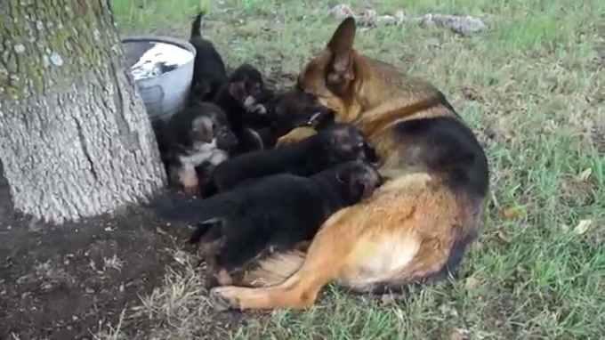 Litter Of German Shepherd Puppies