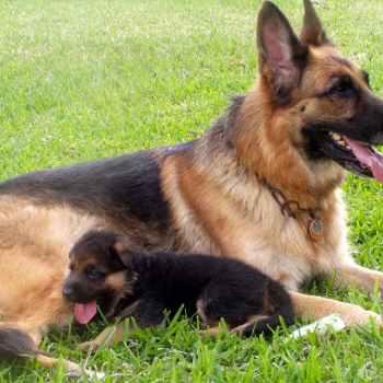 Local German Shepherd Breeders