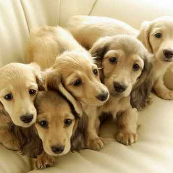 Long Haired Dachshund Puppies For Adoption